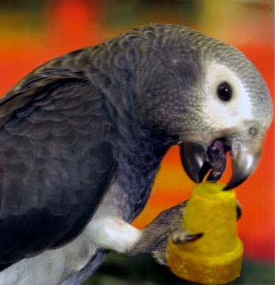 African-Grey-Timneh-Parrot.jpg
