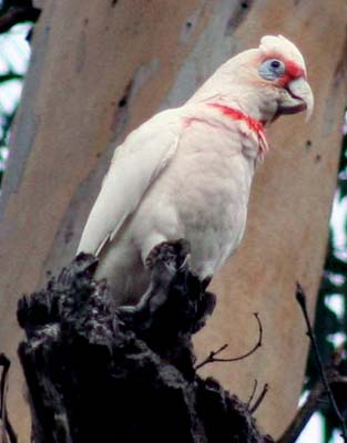 CacatuaLong-billed_Corella_620.jpg
