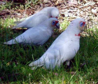 Corella_Long-billed_Butterfield.jpg