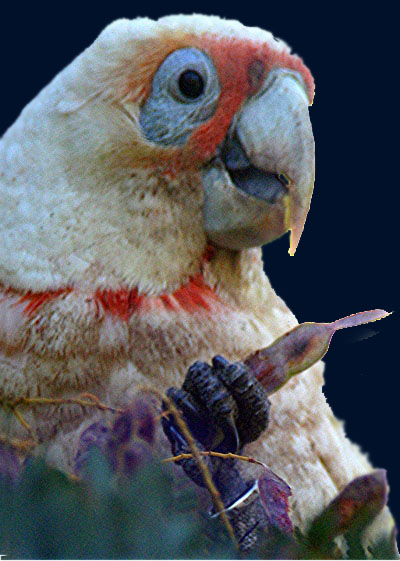 Corella_Long-billed_Dabb.jpg
