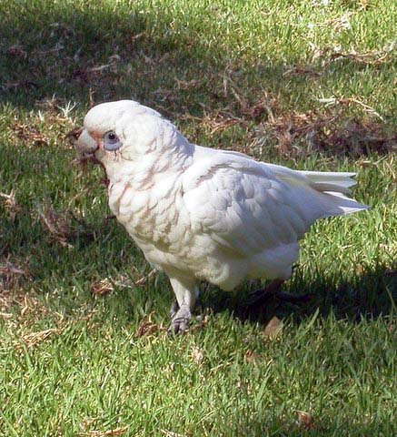 Shor-Billed-Corella.jpg