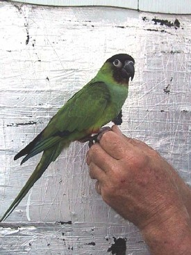 conure_nanday_2_small.jpg