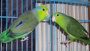 parrotlet-pacific-jennifer.jpg