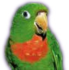 red throated conure_ICON.jpg